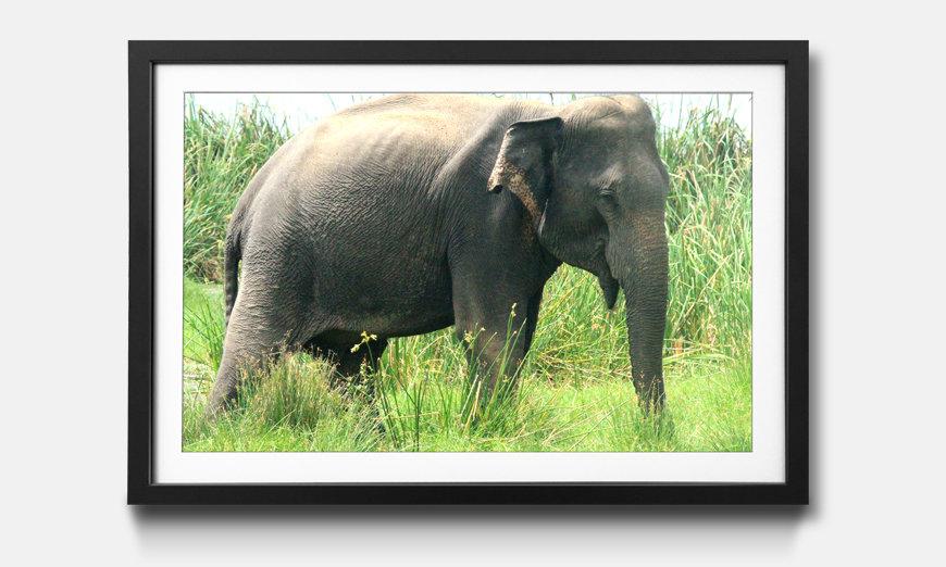 La reproduction encadrée Old Elephant